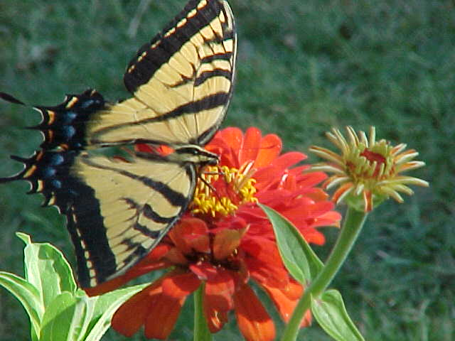 butterfly and zinniz
